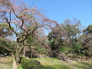 近衛池のほとりの糸桜