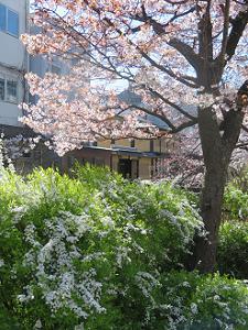 山桜と雪柳