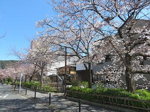 見ごろの山桜