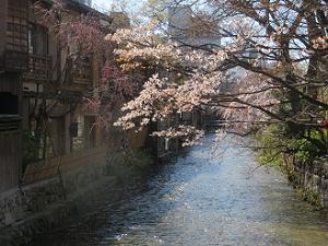 巽橋から見る山桜