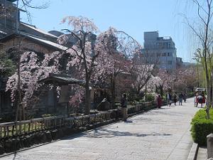 春らしい風景の祇園白川