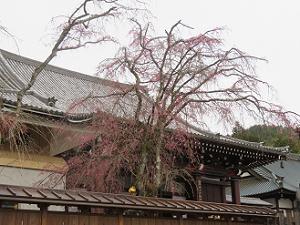 咲き始めの八重紅枝垂れ桜
