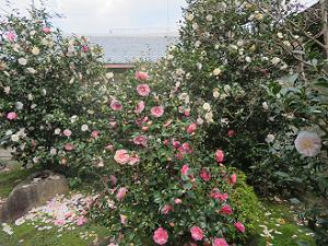 中庭の五色八重散り椿