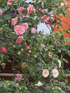 ピンク色と白色の花