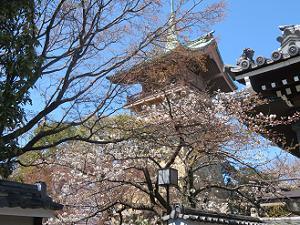 咲き始めのソメイヨシノと祇園閣