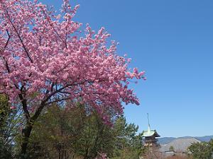 ピンク色の桜と祇園閣
