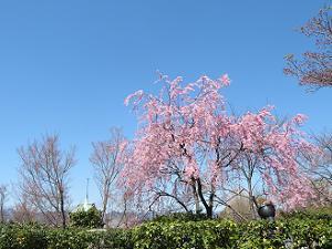 墓地の枝垂れ桜