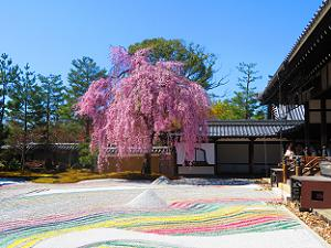 枝垂れ桜と方丈