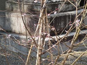 山門前の御会式桜