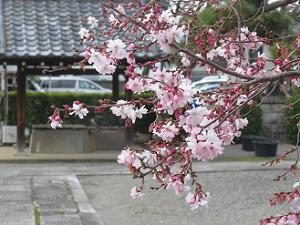 御会式桜の枝先