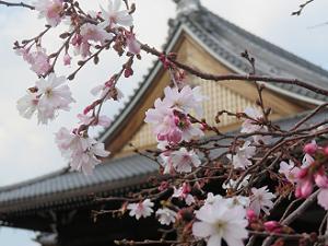 御会式桜と本堂の屋根