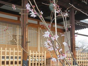 本堂前の御会式桜