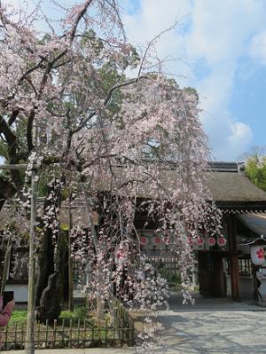5分咲きの魁桜