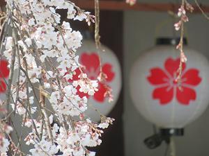 魁桜と提灯