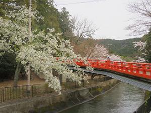 大島桜と正嫡橋