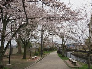 洛東高校付近の桜