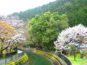 疏水の流れと桜