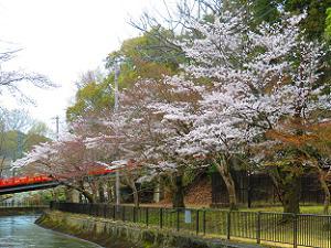 山科疏水沿いの桜