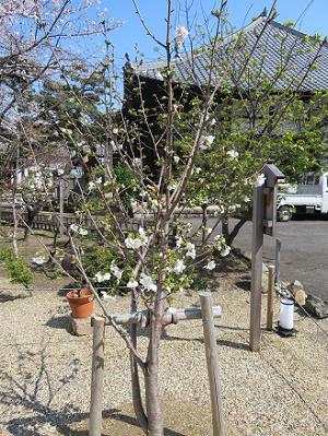 4代目の墨染桜