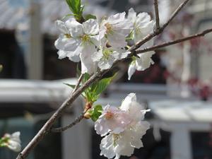 墨染桜のアップ