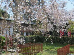 散りゆく糸桜