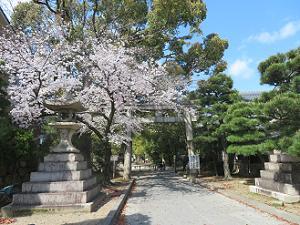 鳥居前の桜