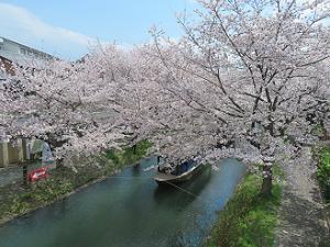 十石舟乗り場の桜