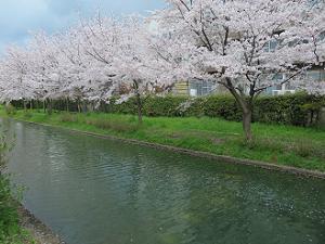 宇治川派流の桜並木