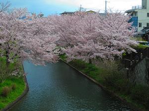 見下ろす満開の桜
