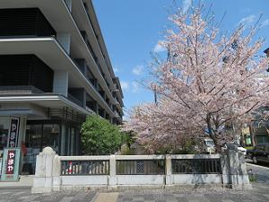 木屋町御池の桜