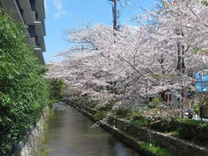 高瀬川と桜