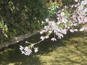川の流れと桜