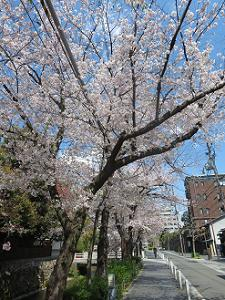 木屋町通沿いの桜