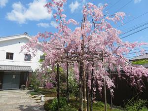 島津製作所創業記念資料館の八重紅枝垂れ桜