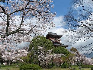 見上げる桜と天守閣