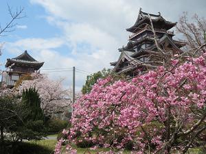 八重紅枝垂れ桜と天守閣