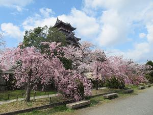 枝垂れ桜たち