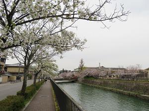 大島桜と岡崎疏水