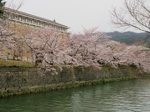 京都市京セラ美術館と桜並木