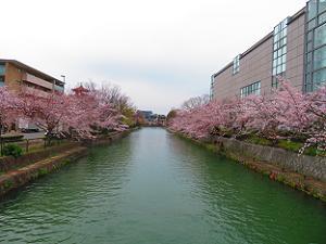 岡崎疏水と桜並木