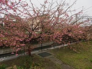 咲き始めの淀水路