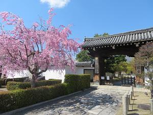 妙顕寺の八重紅枝垂れ桜