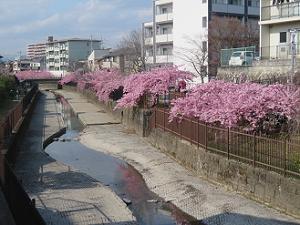 満開の淀水路