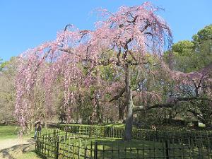 京都御苑の出水の枝垂れ桜