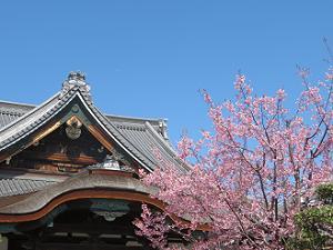 清浄華院の蜂須賀桜