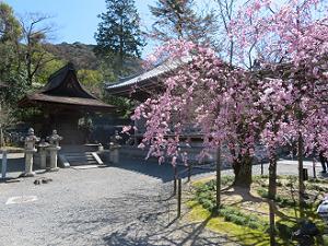 清水寺の紅枝垂れ桜