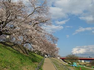桜並木と御幸橋