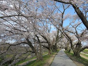 堤防の上の桜並木