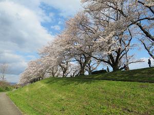 見上げる桜並木