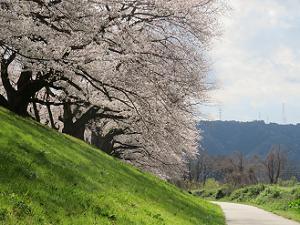 芝生の斜面と桜並木